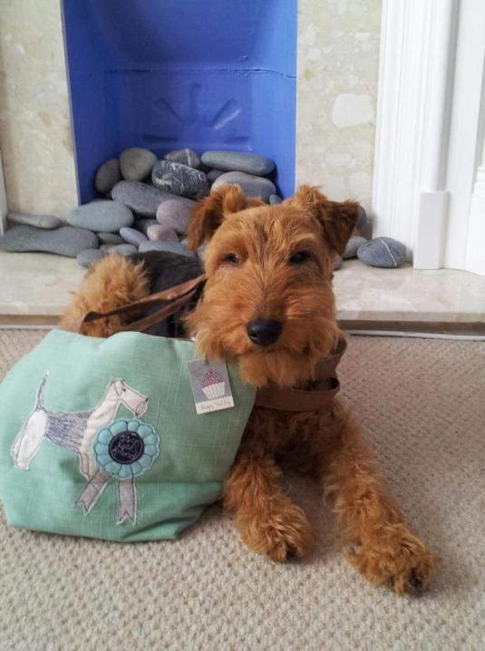 George Best welsh terrier with man bag!