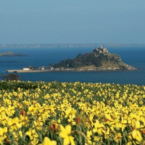Mounts Bay Daffs